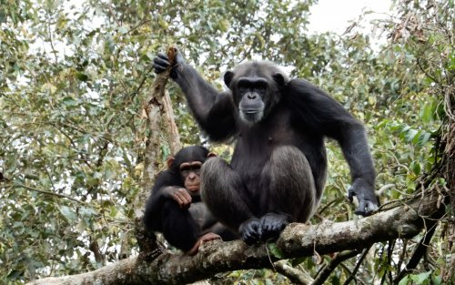 1 - Freetown Tacugama chimpanzees.jpg